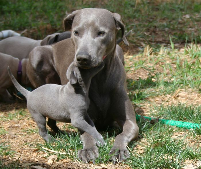 blue lacy dog photo | ~ Blue Lacy Dog, Lacy Game Dog, Texas Blue Lacy, Lacy Dog, Blue Lacy ...
