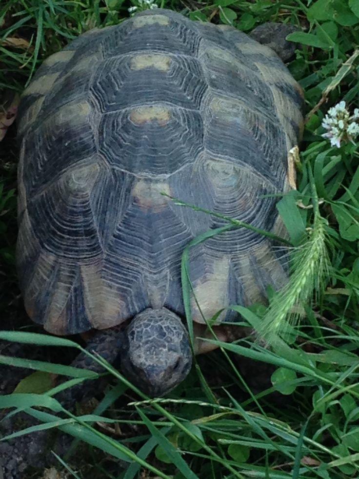 plus de 1000 id es propos de tortues sur pinterest bo tes au tortues les galapagos et animaux. Black Bedroom Furniture Sets. Home Design Ideas