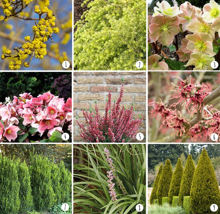 Winter-Blooming Plants Photos courtesy of Monrovia Nursery: 1. Cornus mas 'golden glory' |  2. Tsuga canadensis 'MonKinn' | 3. Helleborus x ballardiae 'HGC Cinnamon Snow' | 4. Helleborus x ballardiae 'HGC Pink Frost' | 5. Calluna vulgaris 'Nr 5163' |  6. Hamamelis x intermedia 'Diane' |  7. Buxus x 'Green Mountain' |  8. Liriope muscari 'Love Potion No. 13' | 9. Juniperus chinensis 'Spartan'