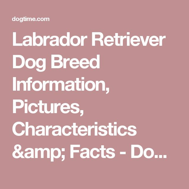 Labrador Retriever Dog Breed Information, Pictures, Characteristics & Facts - Dogtime