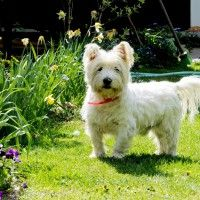#dogalize Razze cani: il cane West Highland White Terrier prezzo #dogs #cats #pets
