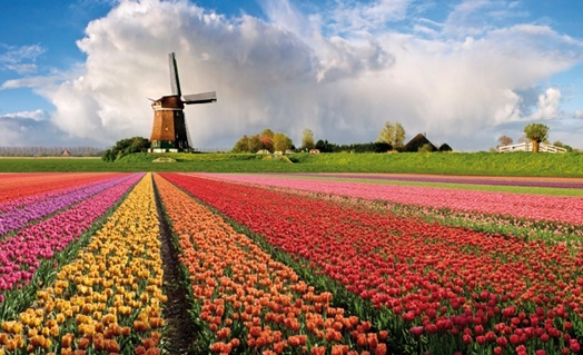 Bloemvelden en echte windmolen in Nederland