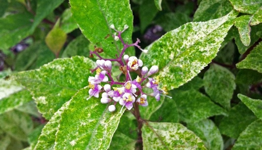 Wine Spritzer™ Beautyberry is the spectacular new beautyberry with ...