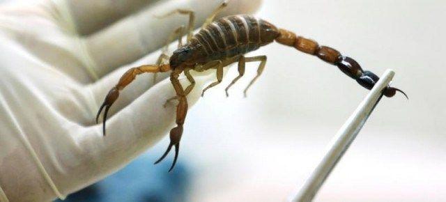 """""""Veneno de escorpión, eficaz contra el cáncer"""". #Ciencia: El veneno del alacrán azul es un potencial remedio para combatir el #cancer, como desde hace dos siglos mantiene una tradición cubana. #salud http://irispress.es/mqciencia/2015/08/04/veneno-de-escorpion-eficaz-contra-el-cancer/"""