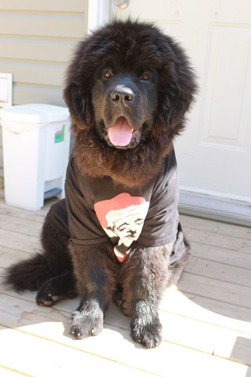 Most Inspiring Newfoundland Chubby Adorable Dog - 8939b599f5af28324ebcc68c1f0ec0dc--newfoundland-puppies-pet-treats  Pic_706618  .jpg