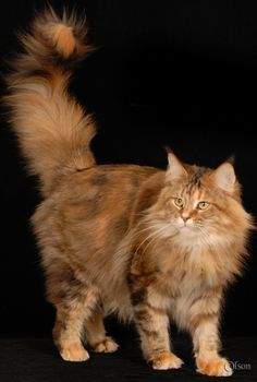 Orange Maine Coon Cat » Orange http://www.mainecoonguide.com/where-to-find-maine-coon-kittens-for-sale/