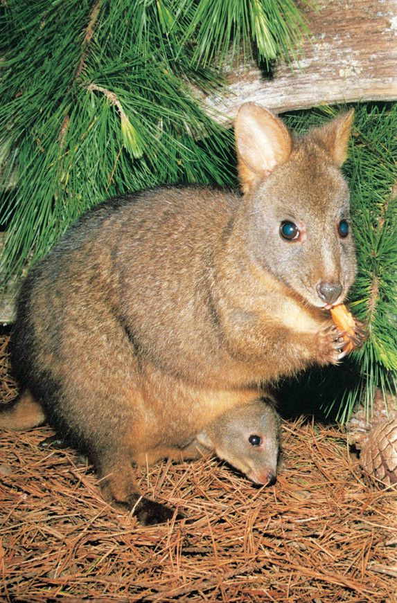 This is a Tasmanian Pademelon. Tasmania is a beautiful place to holiday in summer. http://www.ozehols.com.au/holiday-accommodation/tasmania #VisitTasmania #VisitTas #Holidays @OzeHols - Holiday Accommodation - Holiday Accommodation