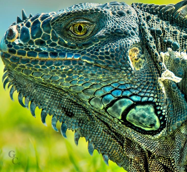 Detalle de la cara de una iguana