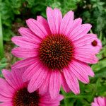 *ECHINACEA* Angustifolia typically used, but Purpurea also can be used, as immune stimulant. Anti-microbial, anti-catarrhal (prevents inflammation of nose and throat). As with most dosages, plan for 10-14 days on, 7 days off – or as prescribed by your holistic practitioner. http://homesteadlady.com/must-have-must-grow-medicinal-herbs/#