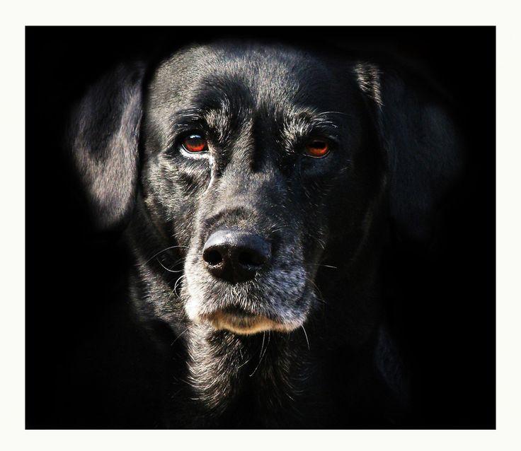 Nelli die alte Labrador-Hündin von phil6547