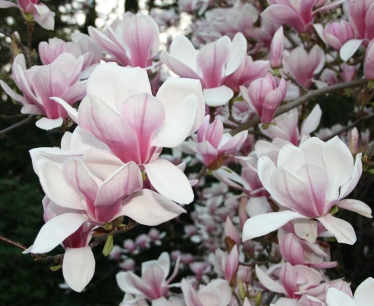 Magnolia soulangeana, Tulpen-Magnolie, 3 Samen - 1a-Saatgut