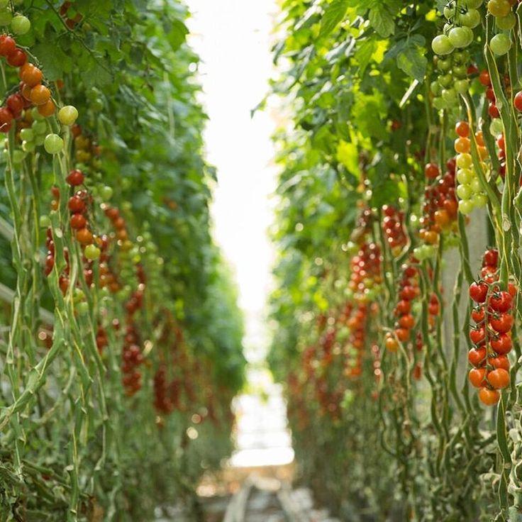Ako sa pestujú rajčiny v Španielskua ako na Slovensku? Cekujte video: https://youtu.be/8SZitbGjD6U