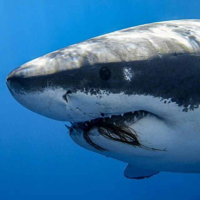 1675 best images about Great White on Pinterest | Shark ...