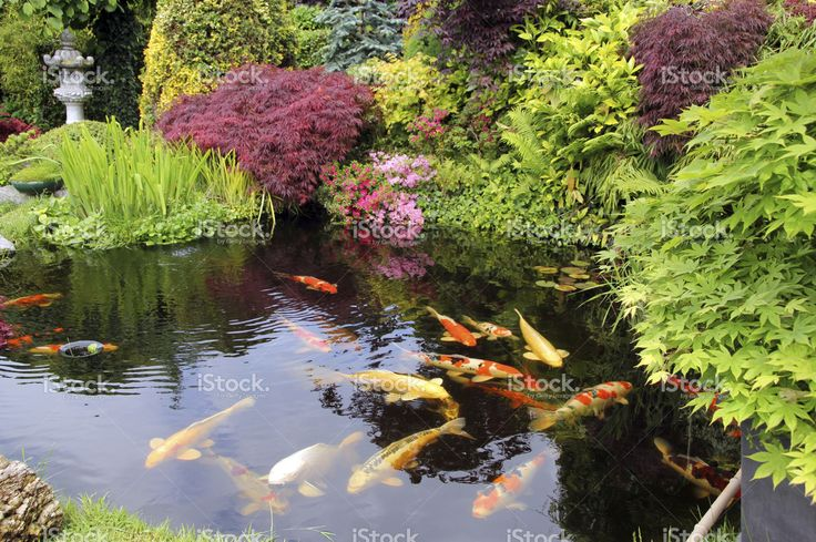 Japanese garden with koi fish creatures animals birds for Japanese garden san jose koi fish