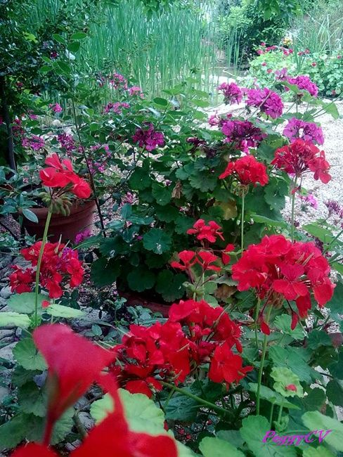 Pink and red geraniums partying in the garden!