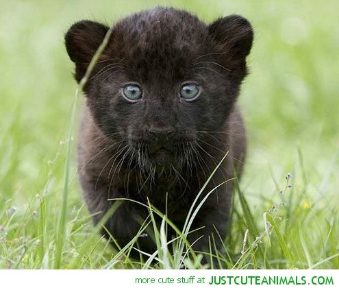 Baby panther cubs - photo#31