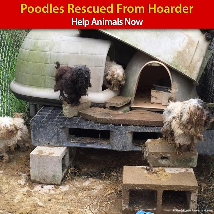 On February 24, 2015, The Poodle Rescue of Houston PRH was brought in by an area animal control officer to take possession of 23 poodles from a hoarding situation. Upon arrival, the team was met with a devastating scene – the poodles were in dire ne