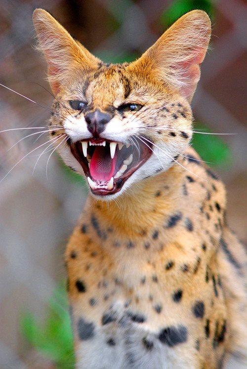 1000 Images About Savannah Cat Serval On Pinterest