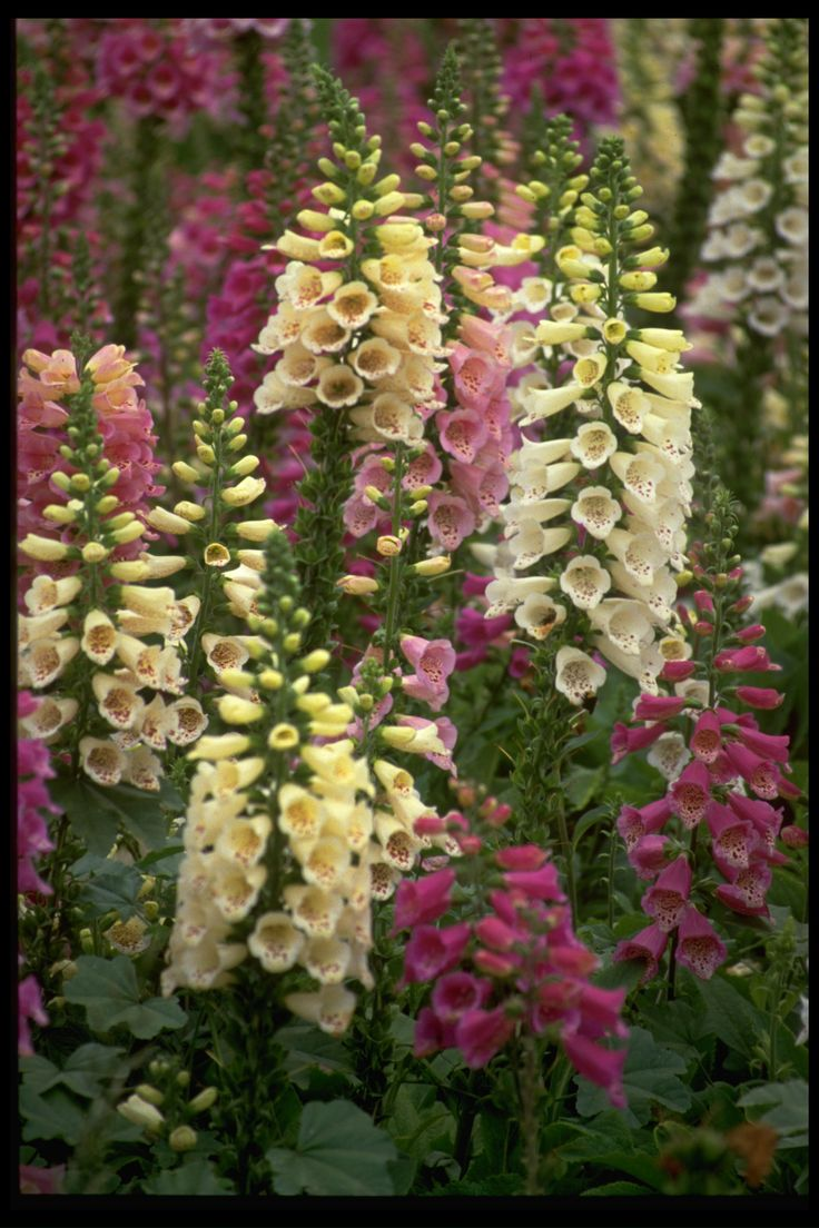 Tall Bush with Purple Flowers | SKU: Foxglove - Excelsior Mix