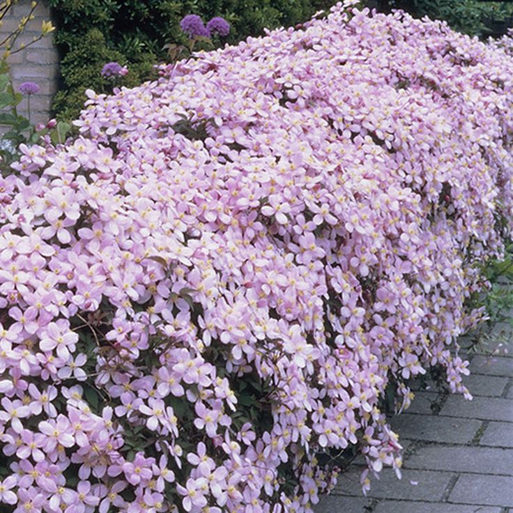Clematis Montana 'Rubens' - Clematis are well known for being one of the prettiest climbers around and the 'Rubens' variety certainly doesn't fail to deliver... http://www.yougarden.com/item-p-550080/clematis-montana-collection-3-x-9cm #clematis #climbingplants #pinkflowers #gardening