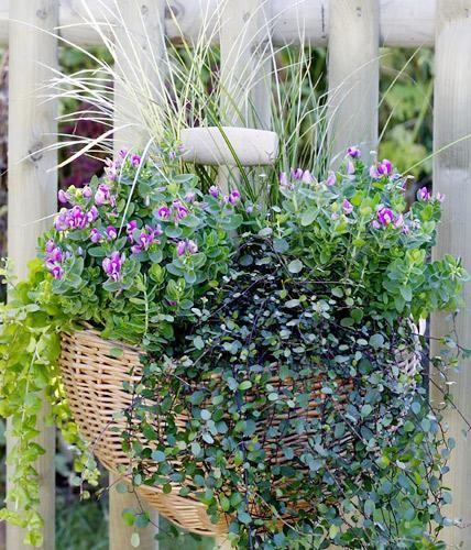 Symmetrie schafft Harmonie: Die Pflanzen sind spiegelbildlich arrangiert.     2 x Kreuzblume (Polygala)     2 x Segge (Carex)     1 x Mühlenbeckie (Muehlenbeckia)     1 x Pfennigkraut (Lysimachia nummularia)