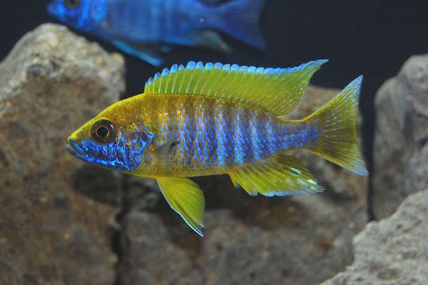 ... Lake Malawi Peacock Cichlids on Pinterest To be, Peacocks and Lakes