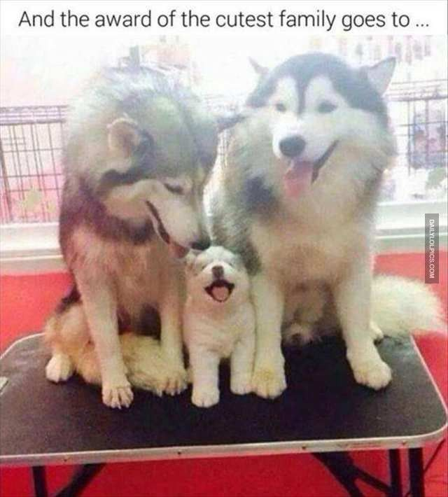 Siberian Husky, French Bulldog, Puppy, Kitten, Family, Cuteness, Animal Meme: And the award of the cutest family goes to.