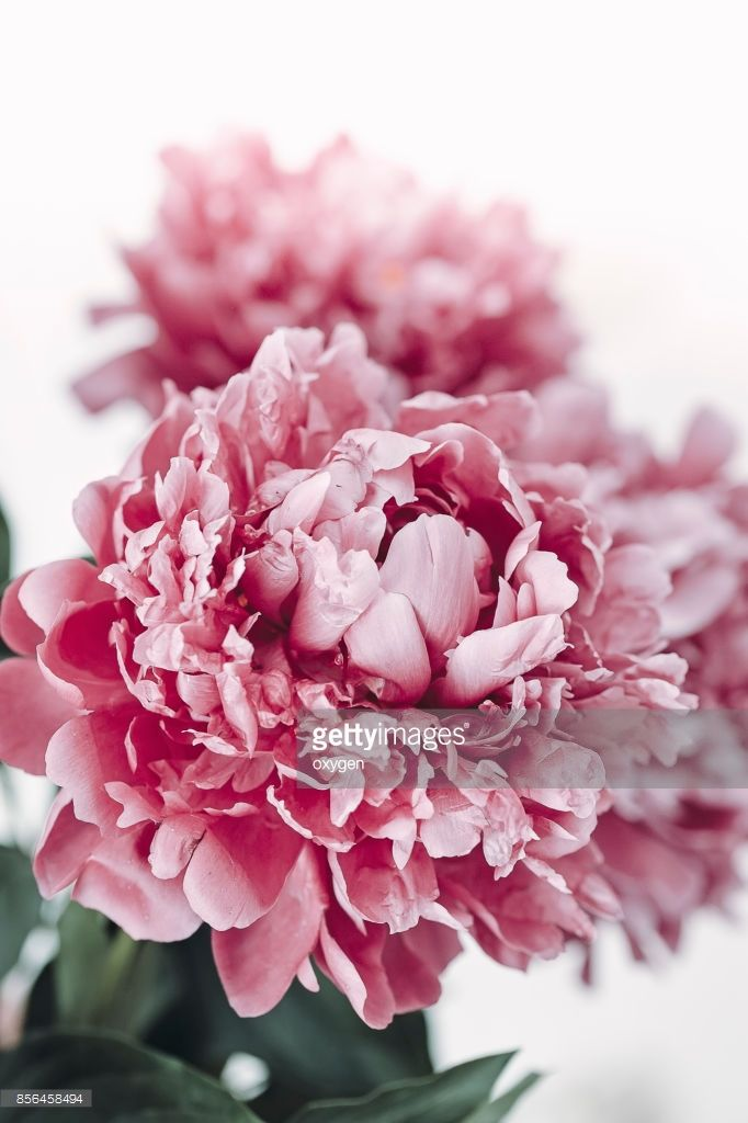 Abstract pink peony flower background with white place for text  by Oksana Ariskina on @gettyimages. #OksanaAriskina #Photography #Nature #Peony #Flower #Floral #Garden #gettyimages #gettycreative #gettyimagescreative  #gettyimagesnew