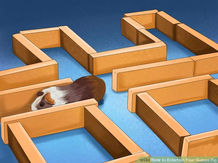 How to Entertain Your Guinea Pig