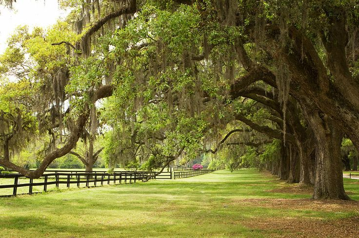 Live Oak Trees in Charleston photography by Stephanie McDowell.  Image source:  fineartamerica.com