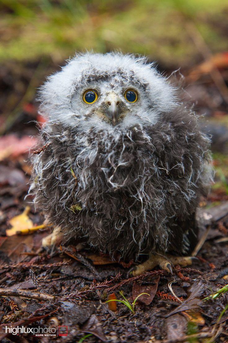 Ruru (Morepork) chick, Stewart Island/Rakiura, New Zealand. The ruru is a small native owl surviving mostly on large invertebrates.