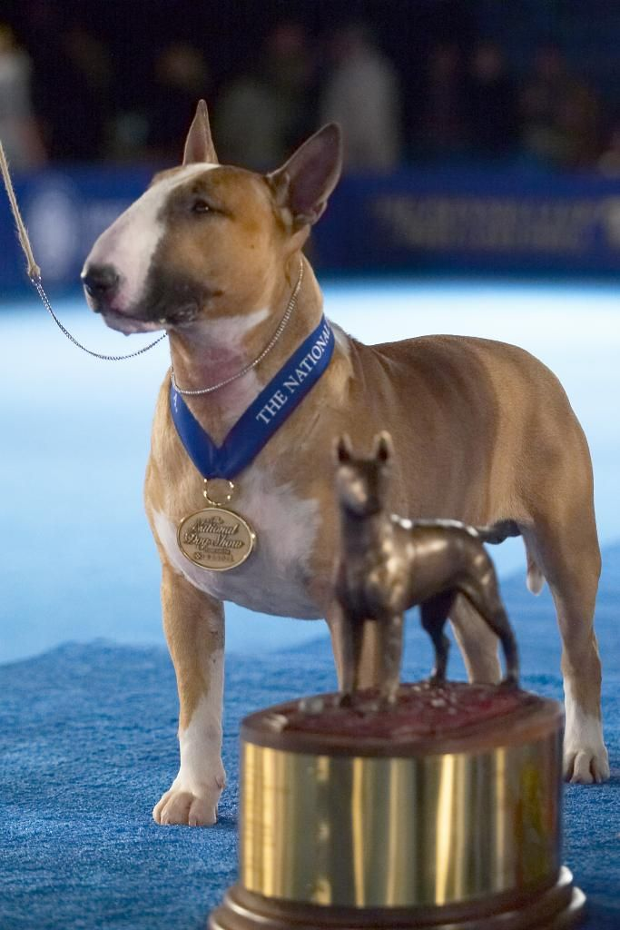 Rufus the Colored Bull Terrier. This beautiful bully boy won Best in Show.