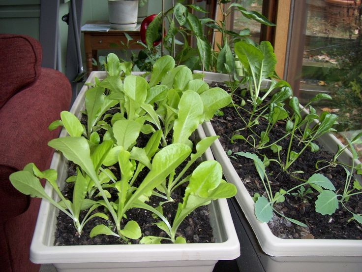 17 Best Images About Indoor Vegetable Gardening On 400 x 300