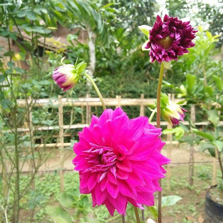 ���� Purple DAHLIA  Dahlia UnGu. Kata orang, warna ungu identik dengan warna janda. Masa' iya sih? Saya suka lho bunga ini dengan warnanya yg indah. Cantik kan?? Biarin ah, meskipun ungu yg penting cantik... ���� #gardens #garden #flowers #flower #florist #flowerstagram #blomster #myhome #homegoods #interior4all #taman #gardendesign #purple #beautifulhome  #dreamhome #dreamhomes #interiors #decor  #interiordesign #interiordesigner #jasmine #bunga #dahlia #kembang #cantik #floral #beautiful…