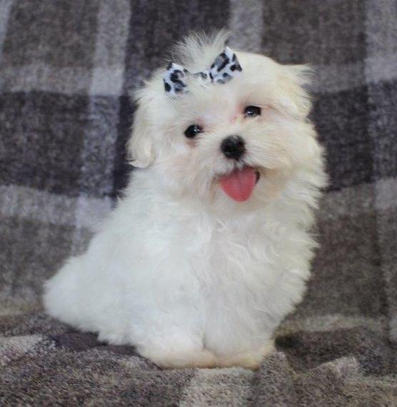 Carson Maltese Puppy Puppyspot Maltese Puppies For Sale