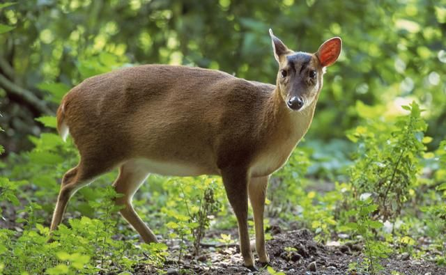 Muntjac deer. Woodlands are their preferred habitat, but they are increasingly found in gardens and even walking down streets. Native to south-east China and Taiwan, muntjac deer were introduced to parks in the UK in the early 20th century and escapees have since established wild populations.