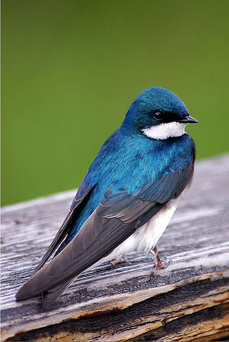 Tree Swallow -  breeds in North America & winters in Mexico, Central America & Caribbean