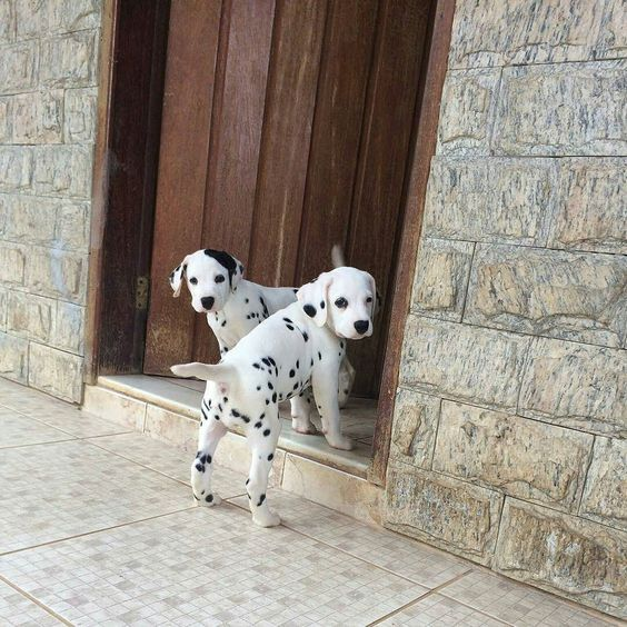 Dos #cachorros #Dalmata esperando a su dueño para entrar a casa.