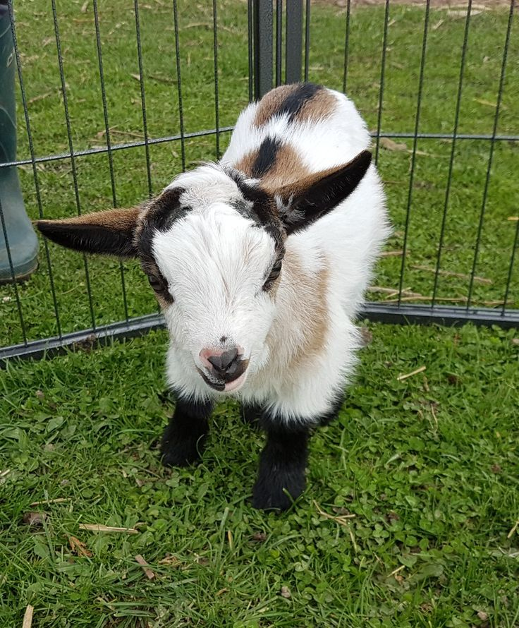 Pin by Claire Burton on Pygmy goats for sale Pygmy goats