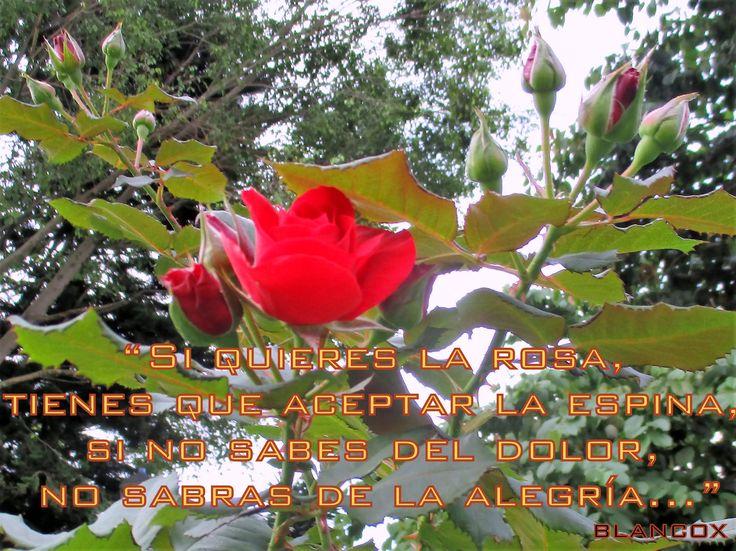 """""""El encanto de las rosas es que siendo tan hermosas no conocen que lo son."""" (J.M.Perman)"""