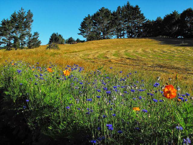 Cornflower and cosmos wildflower bed.