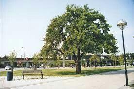 Smedens pæretræ