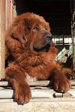 Red Tibetan Mastiff.