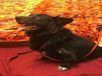 Border Collie/Cardigan Welsh Corgi Mix Dog for adoption in Upper Marlboro, Maryland - *FESTER