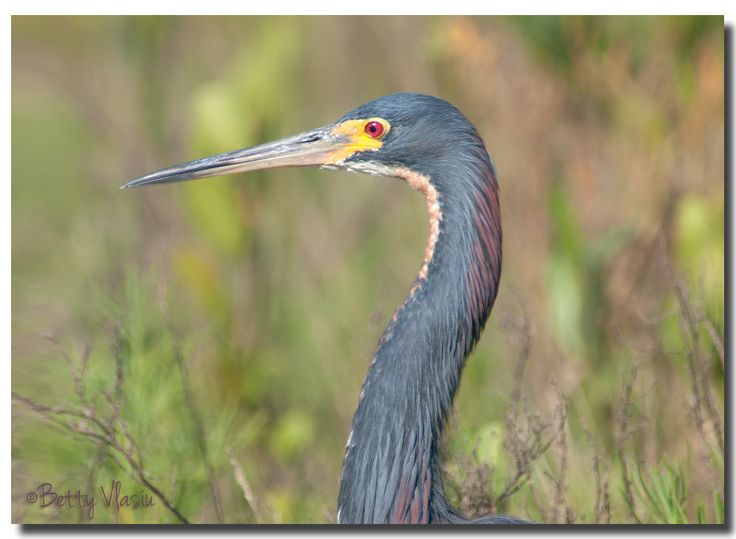 https://flic.kr/p/UKjNu4 | Tricolored Heron