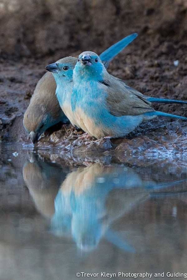 Blue Waxbill - SUCH AN AMAZING SHOT!! - THEY LOOK JUST GORGEOUS!!