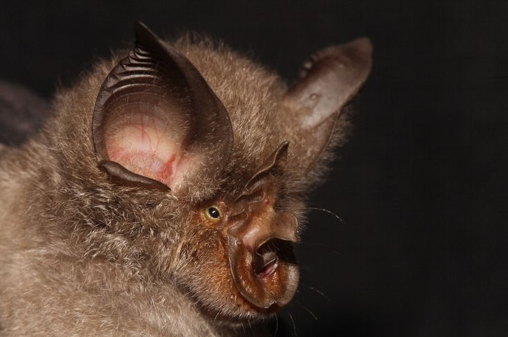 A portrait of Rhinolophus smithersi, a newly discovered cryptic bat species.
