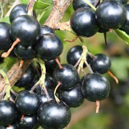 Vierbeere® Black Pearl®