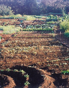 Some of the crops in the I Ka Pono Community Garden which was a project of the Zen Center of Hawaii in Kamuela, Hawaii.