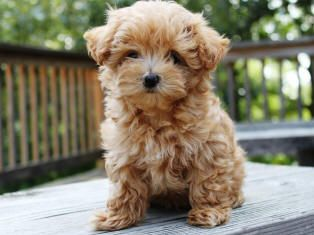 Maltipoo! ITS SO FLUFFY IM GOING TO DIE!! Reminds me of a tiny goldendoodle.